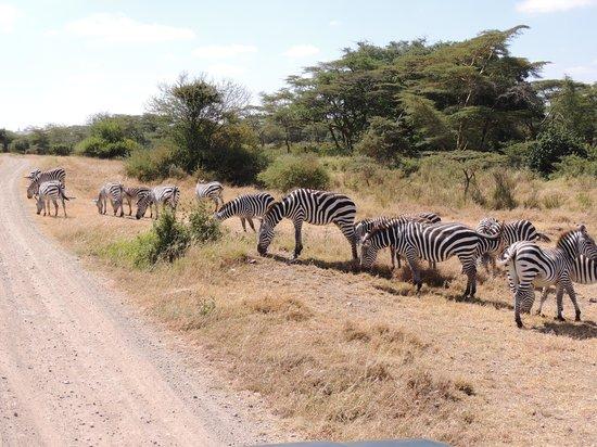 Parc national de Nairobi : A real Zebra crossing...!!!