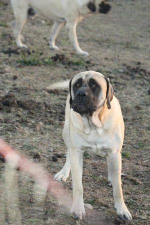 The Country Lodge at Sabbath Song Farm: Mastiff's