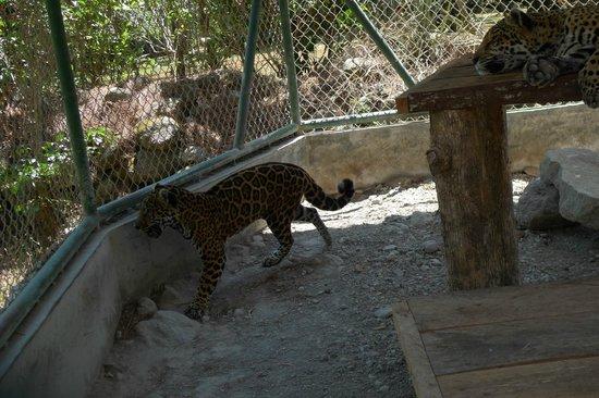 El Nispero Zoo and Botanical Garden: leopard