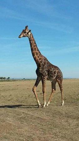 Rekero Camp, Asilia Africa: Giraffe