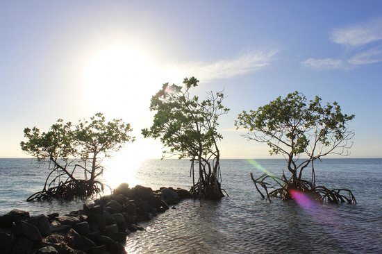 Coco Plum Island Resort: Mangroves right offshore