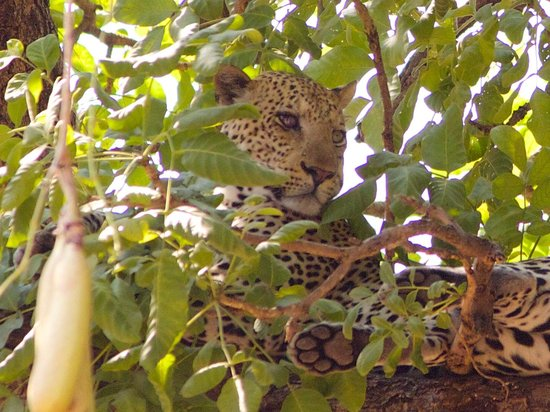 Kuyenda Bushcamp - The Bushcamp Company: Leopard sighting