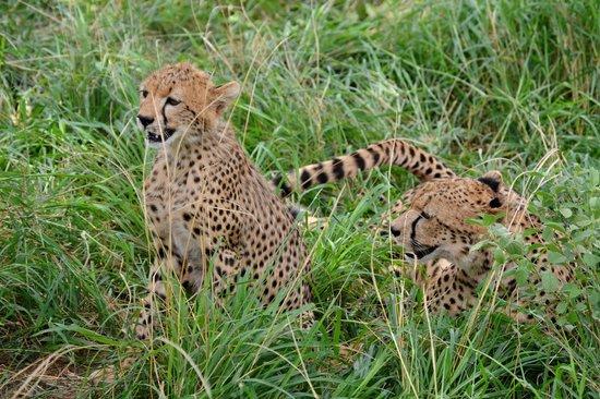 Secretary Bird Kenya Safaris, Day Tours : cheetah family relaxation
