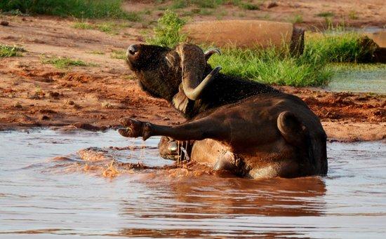 Secretary Bird Kenya Safaris, Day Tours : crazy buffalo