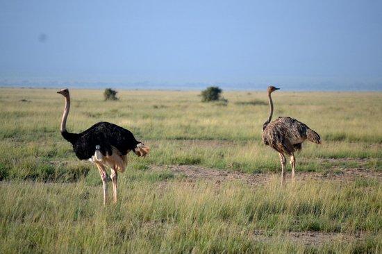 Secretary Bird Kenya Safaris, Day Tours : papa and mama Ostrichs