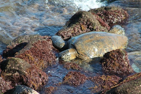 Kuhio Shores Condos: Hungry turtle