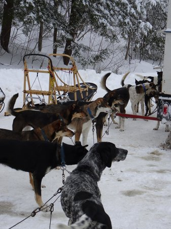 Telemark Inn Wilderness Lodge: Getting the dogs ready