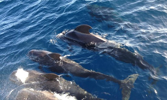 FreeBirdOne Whale and Dolphin Excursion : balene delle Canarie