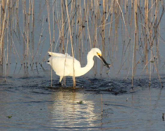 Hilton Garden Inn Savannah Airport: Snowy Egret fishing