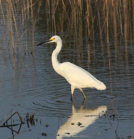 Hilton Garden Inn Savannah Airport: Snowy Egret