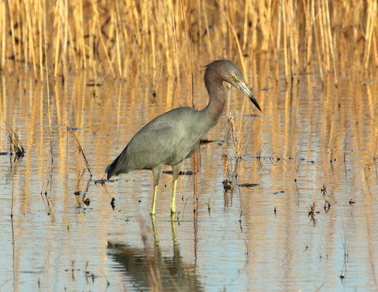 Hilton Garden Inn Savannah Airport: Little Blue Heron Stalking