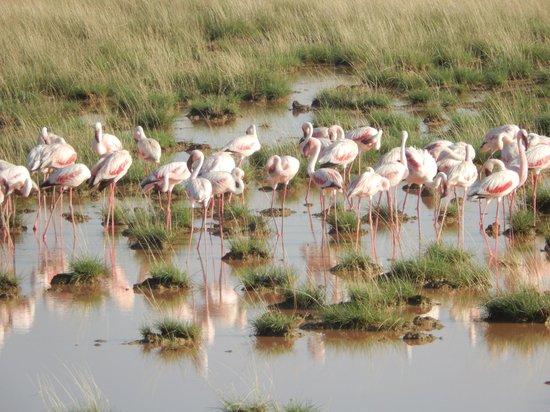 Amboseli Serena Safari Lodge: Pink Flamingos