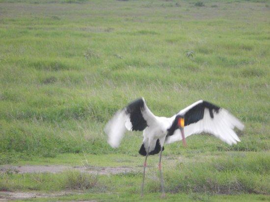 Amboseli Serena Safari Lodge: Yellow-billed Stork