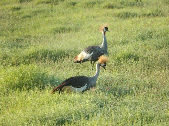 Amboseli Serena Safari Lodge: Grey Crowned Cranes