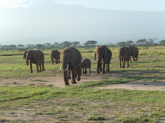 Amboseli Serena Safari Lodge: Elephans on the Move