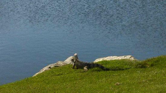 Melia Coco Beach : Iguana on Golf Course