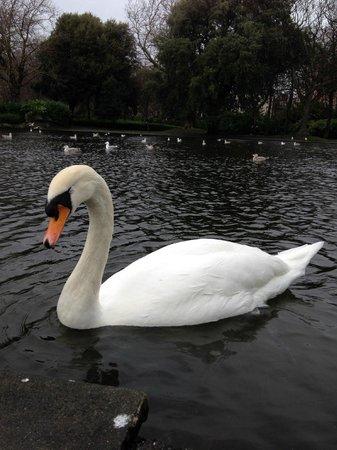 Parque St Stephen's Green: Лебеди в парке