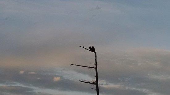 Semiahmoo Golf & Country Club: bald eagles