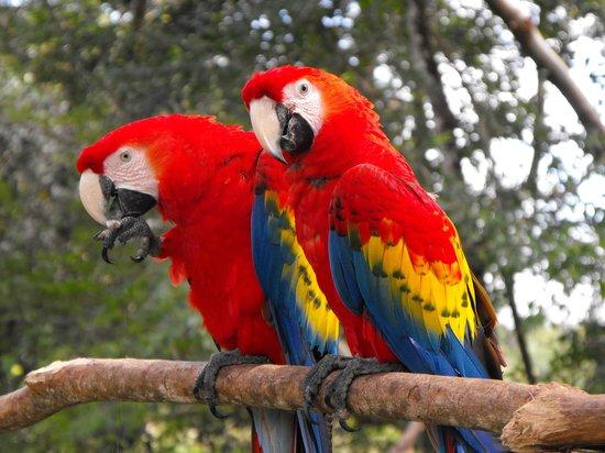 Villa Maya: the resident Macaws