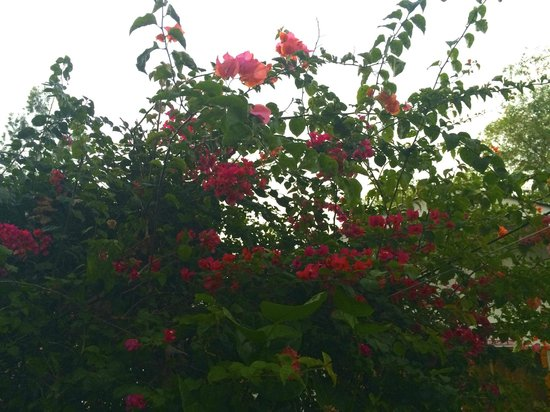 Negril Yoga Centre : One of the many flower bushes and tropical garden charms