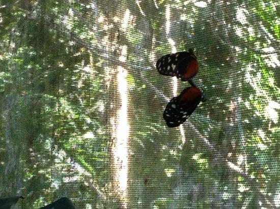 Green Hills Butterfly Ranch : mating butterflies