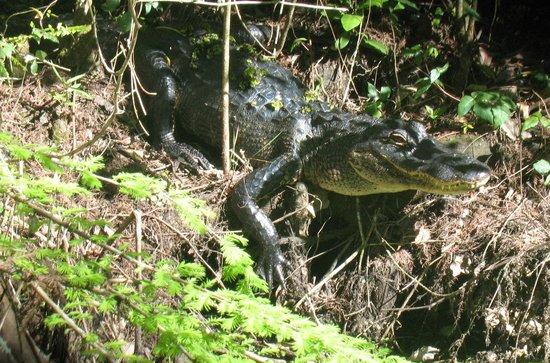 Corkscrew Swamp Sanctuary : Young gator at Corkscrew Swamp, March 2014
