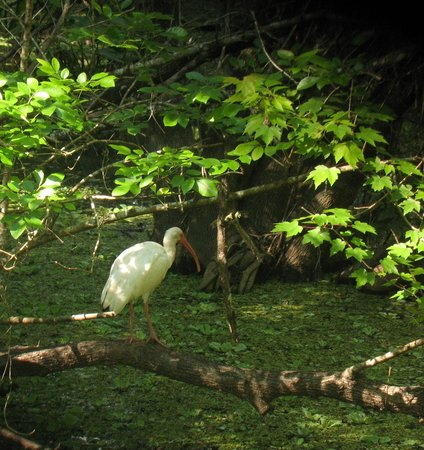 Corkscrew Swamp Sanctuary : White Ibis at Corkscrew Swamp, March 2014