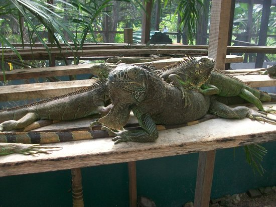Green Iguana Conservation Project: Friends