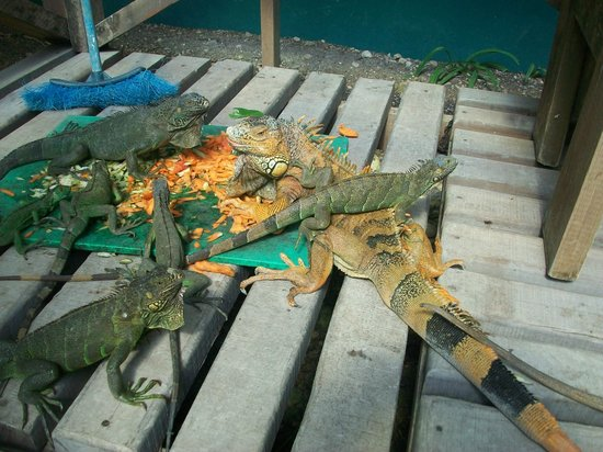 Green Iguana Conservation Project: Lots, & lots of iguanas.