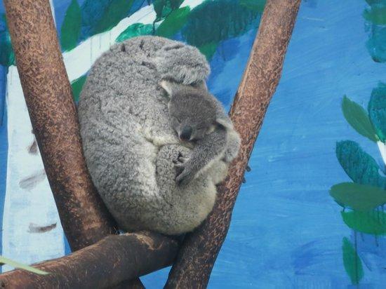 Chimelong Safari Park : Koala momma and baby