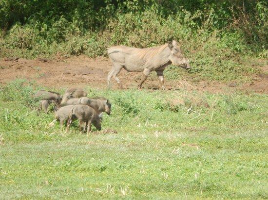 Lake Manyara Serena Lodge: Warthogs