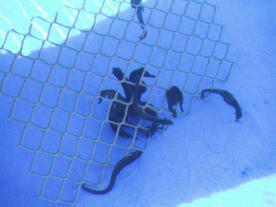 Ocean Rider Seahorse Farm : They like friends!