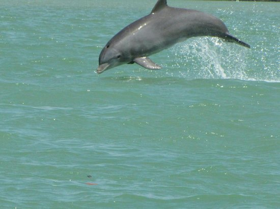 Everglades Fishing Charters : Dolphins frolicking