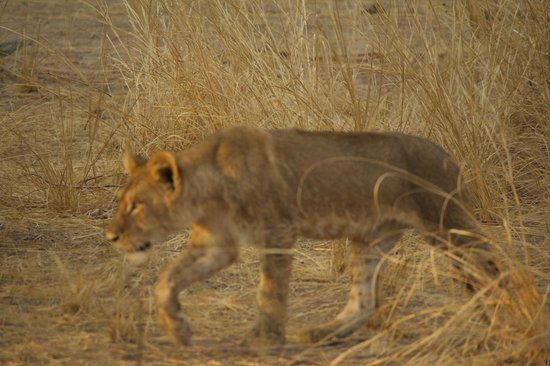 Chindeni Bushcamp - The Bushcamp Company: Lion cub after taking a dip in Luangwa