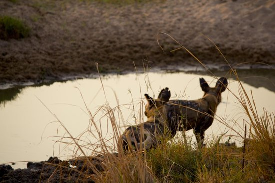 Chindeni Bushcamp - The Bushcamp Company: Wild dogs at water hole