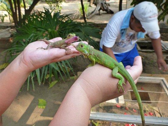 Aventura Mundo : Handling young iguanas at the Iguana farm