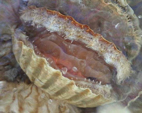 Marlborough Sounds: Scallop up close...before we shucked, cook it and ate it.