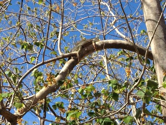 Best Western Tamarindo Vista Villas: Iguana who made his morning visit at breakfast