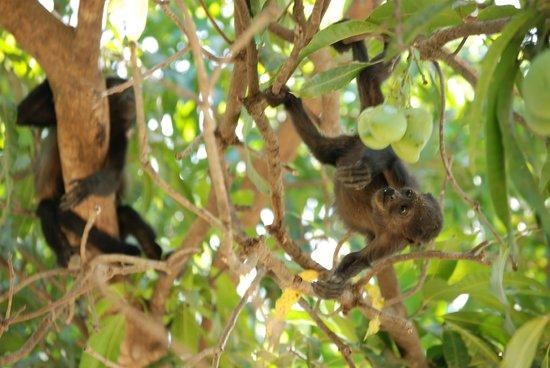 Best Western Tamarindo Vista Villas: Howler monkey family in the guava tree