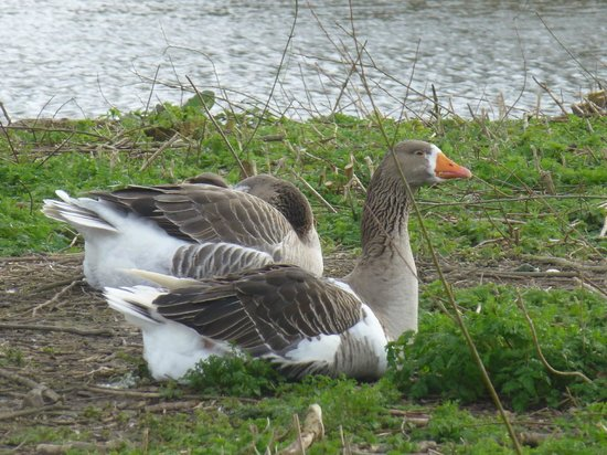 Capstone Farm Country Park: Geese at capstone farm park