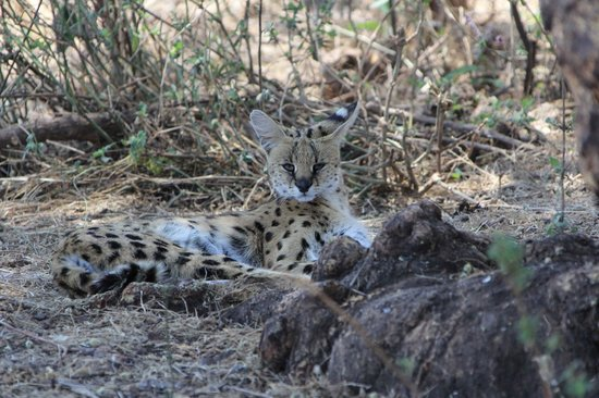 andBeyond Ngorongoro Crater Lodge: Serval Cat resting in the shade