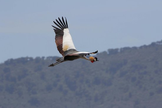 andBeyond Ngorongoro Crater Lodge: Golden Crown Cranes were stunningly beautiful