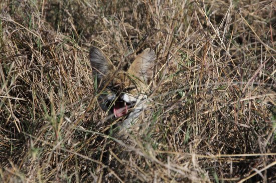 andBeyond Bateleur Camp: Not a happy Servil Cat! Guarding her litter