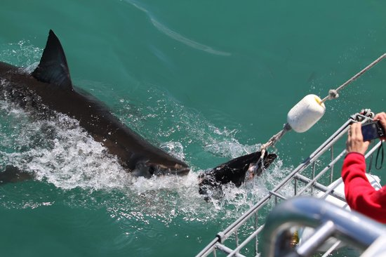 Great White Shark Tours : view from the upper deck