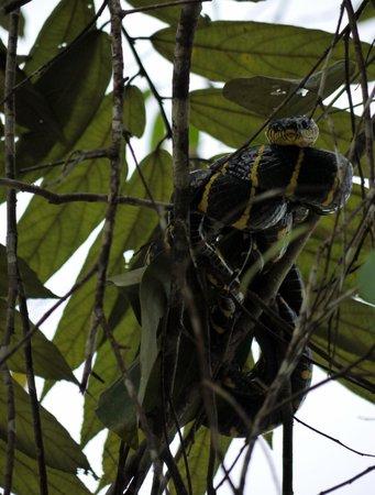Barefoot Sukau Lodge : Mango snake