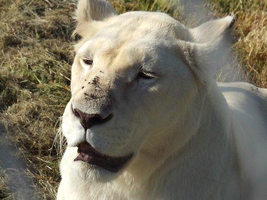 Lionsrock Big Cat Sanctuary: White Lioness