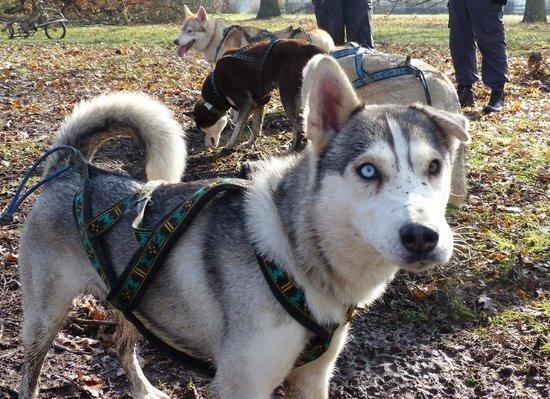 Flame's Sled Dogs: husky