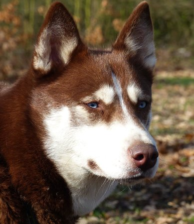 Flame's Sled Dogs: stunning eyes