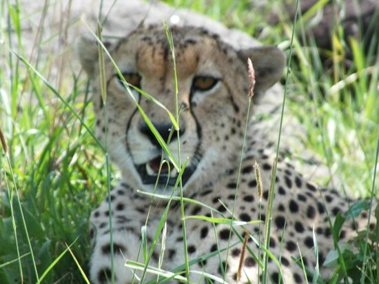 Sanctuary Olonana: cheetah