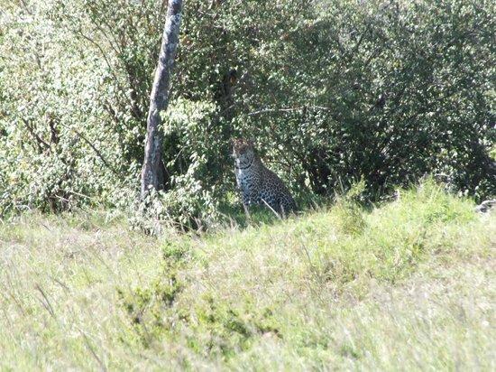 Sanctuary Olonana: leopard